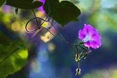 野生紫色喇叭花在庭院里 库存图片