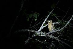 野生黄色眼睛猫头鹰在晚上, Sukau连接点 库存图片