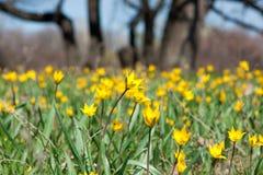 野生黄色郁金香的领域在春天 库存图片