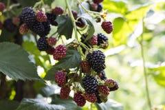 野生黑莓果 免版税库存照片