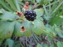 野生黑莓果 库存图片