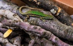 野生绿蜥蜴 免版税图库摄影