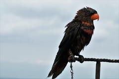 野生黑鹦鹉在巴厘岛,印度尼西亚 免版税库存图片