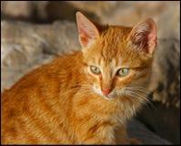 野生1只的猫 免版税库存照片