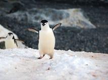 野生Chinstrap企鹅在南极洲 免版税库存照片