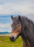 野生Exmoor小马 免版税库存图片