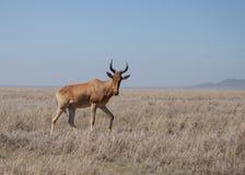野生Hartebeest羚羊 库存图片
