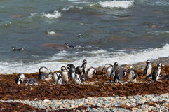 野生magellanic企鹅在岸清洗 库存图片