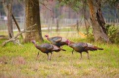 野生Osceola火鸡群在佛罗里达 图库摄影