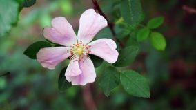 野生pinnk玫瑰 库存图片