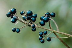 野生Privet莓果 库存图片
