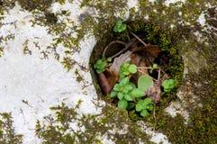 野生sedum和青苔在岩石 免版税库存图片