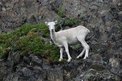 野绵羊 库存图片