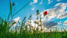 野花和太阳,定期流逝 影视素材