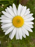 野花在夏天 库存照片