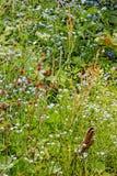 野花在阿尔卑斯 免版税库存照片