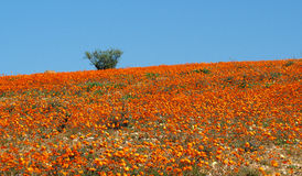 野花在Namaqualand,南非 免版税库存图片