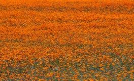 野花在Namaqualand,南非 免版税图库摄影