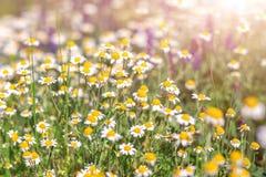 野花开花的草甸在夏天 背景美好的做的本质向量 camomiles的领域或雏菊和其他野花 医疗 免版税库存图片