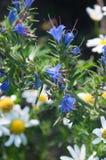 野花春黄菊和蓝蓟特写镜头  库存图片