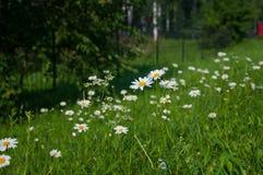 野花春黄菊在夏天 免版税库存图片