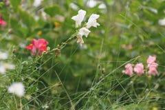 野花桃红色和白色开花在草甸的 免版税库存照片