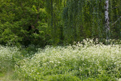 野花的白色领域沼地  桦树叶子绿色树丛可以 图库摄影