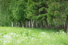 野花的白色领域沼地  桦树叶子绿色树丛可以 库存图片