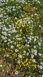 野花的领域 库存图片