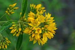 野花的黄色小芽在一个绿色词根的 库存图片