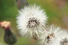 野花种子在风朝向准备好吹  免版税库存图片