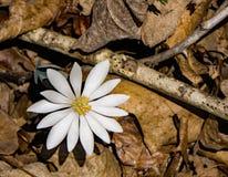 野花罂粟科植物-血根草属Canadensis 免版税库存照片