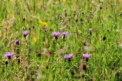野花草甸在Cotswold,格洛斯特郡 免版税库存照片
