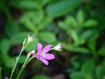 野花,紫色颜色,斯里兰卡 免版税图库摄影