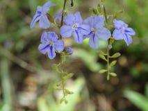 野花,蓝色颜色,斯里兰卡 免版税库存照片