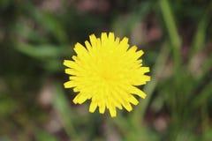 野花,黄色,外面,弄脏了背景 免版税库存图片