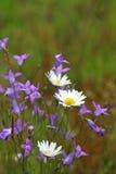 野花:会开蓝色钟形花的草和延命菊 免版税库存图片