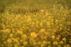 野花黄色草甸强奸 库存照片