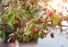 野苹果树开花的小树枝春天 库存照片
