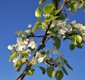 野苹果树春天开花的分支  免版税库存照片