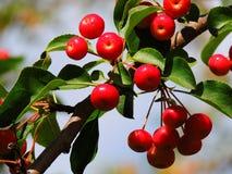 野苹果,法国产苹果,美丽的成熟果子 免版税库存照片
