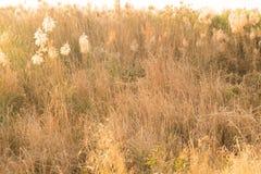 野草的宏观图象,小景深 葡萄酒作用 美好的农村在金黄夏天日落的自然野草 免版税库存照片
