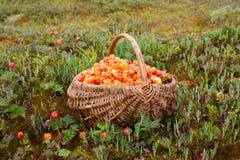 野草莓充分的篮子  库存照片