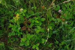 野草莓叶子丛林绿色背景 免版税库存图片