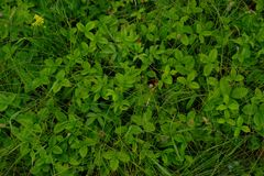 野草莓叶子丛林绿色背景 免版税图库摄影