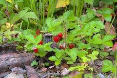 野草莓在夏天森林里 免版税库存图片