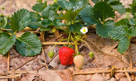 野草莓在庭院里。 免版税库存照片