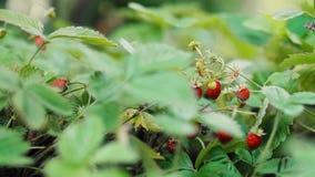 野草莓在庭院里 股票视频