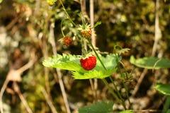 野草莓在森林里 库存图片