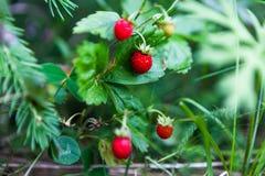 野草莓在森林里 免版税库存照片